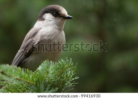 A Grey jay is perching on a branch (Canada jay, Whiskey Jack)