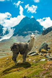 A Grey Llama Staring at the Camera over the Grass in the Valley of the Llamas near the snowy Condoriri, a Mountain in Bolivia's Cordillera Real