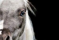 A grey miniature horse with baby blue eyes, the photo has a black background. An artistic photo of a cute and pretty horse.