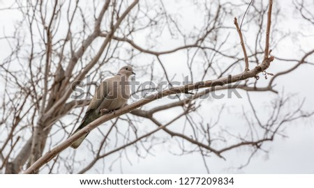 A grey pigeon bird sitting alone on a no leaf tree branch, cold, winter time #1277209834