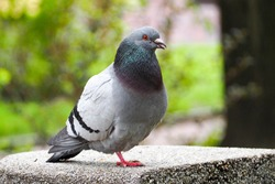 a grey pigeon stands on one leg on a concrete grey structure against a background of greenery and a tree in a Park on a spring day