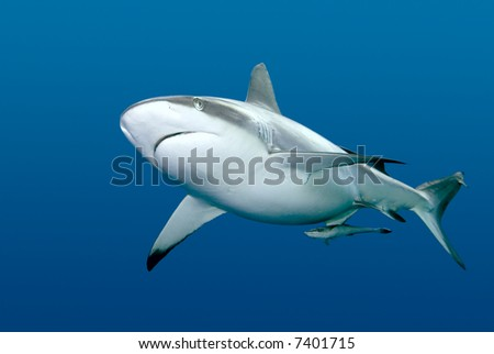 a grey reef, or whaler shark, swimming along underwater. These sharks can become very aggressive. There is a remora, or slender suckerfish, swimming along with the shark.