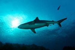 A grey reef shark cruises in Palau