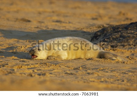 A grey seal pup cries out for it's mother