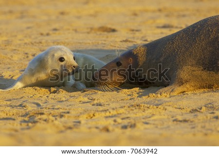 A grey seal pup next to it's mother