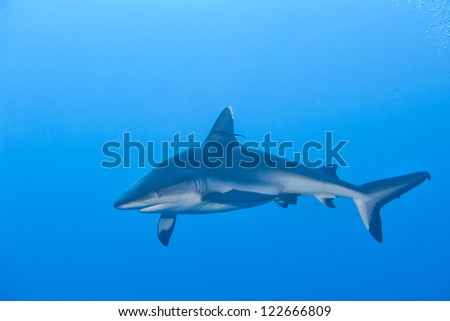 A grey shark jaws ready to attack underwater close up portrait - stock photo