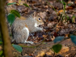 A grey squirrel (Sciurus carolinensis) seen sitting on a woodland floor eating an acorn in winter