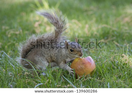 a grey squirrel while eating an ...