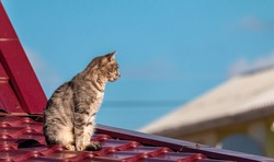 A grey striped cat with green eyes sitting on the edge of a small barn roof. Warm autumn rural scene with pet on the background of a red house. cat sitting on a tin roof looking down.