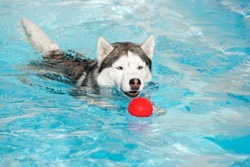 A grey & white colored male siberian husky dog with blue eyes. The wet husky is swimming in a pool and plays with small red ball. The water has azure color, with waves and splashes. It's a sunny day.