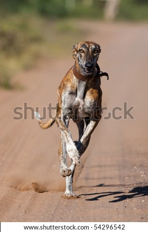 A greyhound with a collar running full speed at the camera at eye level