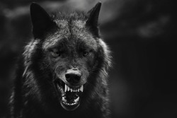 A greyscale closeup shot of an angry wolf with a blurred background