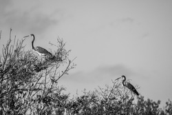 A greyscale closeup view of herons sitting on the branches of the tree near the coastline