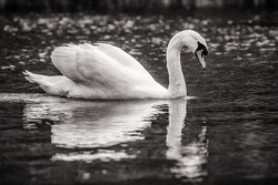 A greyscale shot of a beautiful swan swimming in a lake