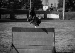 A greyscale shot of a police dog jumping through a fence at a training area