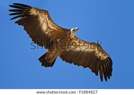 A griffon vulture flying at blue sky