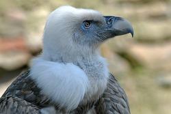 A Griffon vulture portrait, closeup