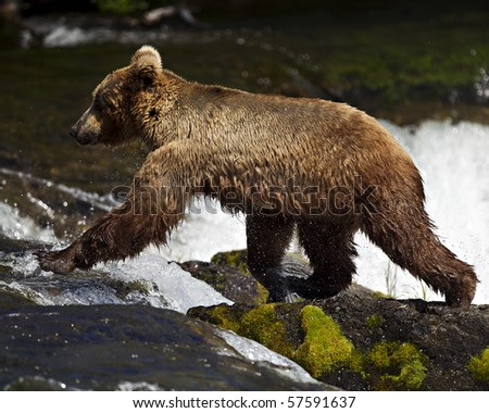 A grizzly bear fishes for Salmon on the Katmai Preserve in Alaska.