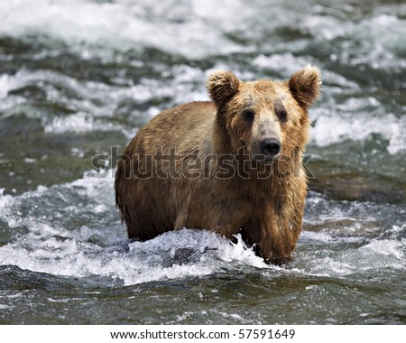 A grizzly bear fishes for Salmon on the Katmai Preserve in Alaska. - stock photo