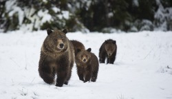 A grizzly bear sow leads her cubs through the snow in Grand Teton National Park, Wyoming.