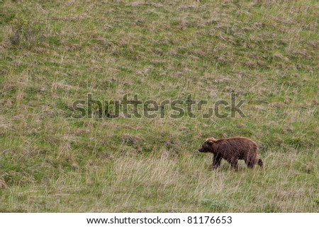 A grizzly bear walking on the grass field