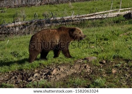 a grizzly walks along the hill near an fallen snag