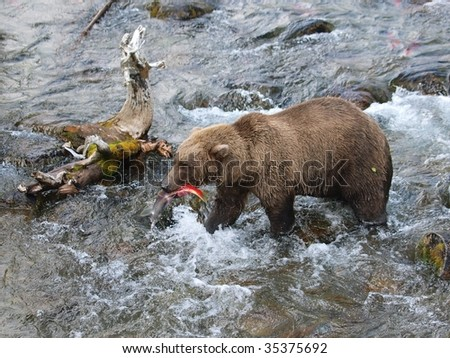 A Grizzly with its catch