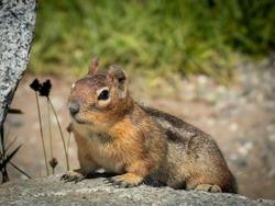 A Ground Squirrel sits atop Cascade Pass at North Cascades National Park.