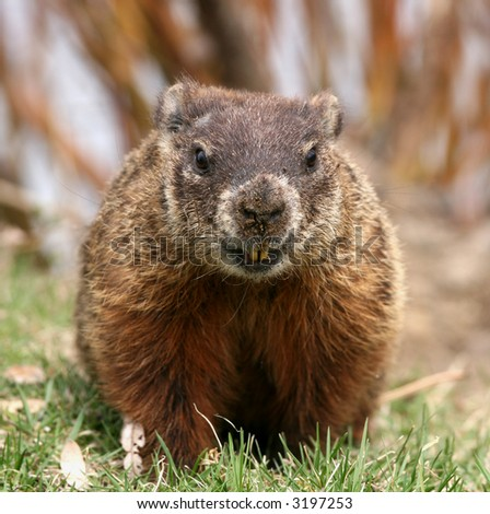 A groundhog  by its den. Canada.