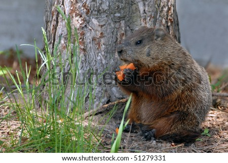A Groundhog eat carrots