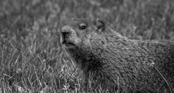 A groundhog in a black and white meadow