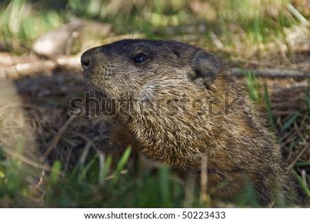 A groundhog Toronto Ontario. Canada.