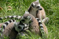 A group of a funny ring-tailed lemurs (Lemur catta) playing on the grass