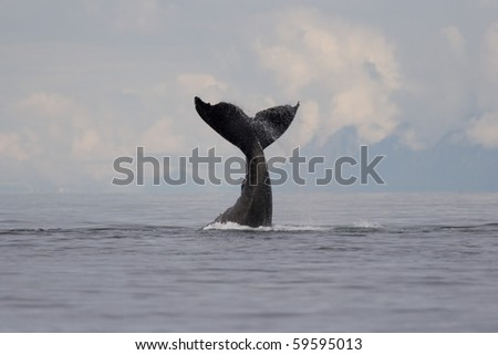 "A group of adult humpback whales (Megaptera novaeangliae) co-operatively ""bubble-net"" feeding along the west side of Chatham Strait in Southeast Alaska, USA. Pacific Ocean."
