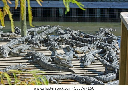 A group of alligators, Orlando, FL
