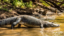 A group of alligators resting peacefully on the banks of the Yacuma River in the Amazon rainforest of Bolivia.