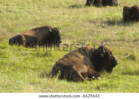 a group of American buffalo resting in Custer State Park in the Black Hills of South Dakota. The largest land mammal in North America. - stock photo
