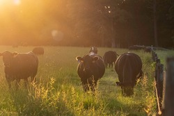A group of Angus beef cows along a fenceline bathed in late afternoon golden light.