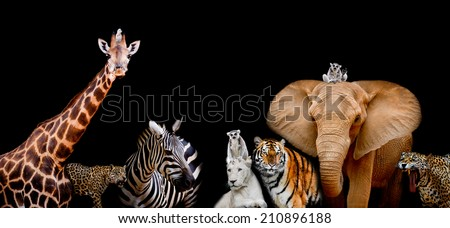 A group of animals are together on a black background with text area. Animals range from an Elephant, Zebra, White Lion, Jaguar, Monkey, Giraffe and Tiger. Use it for a zoo or conservation concept.