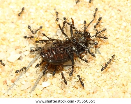 A group of  ants  attacking a Beetle on land