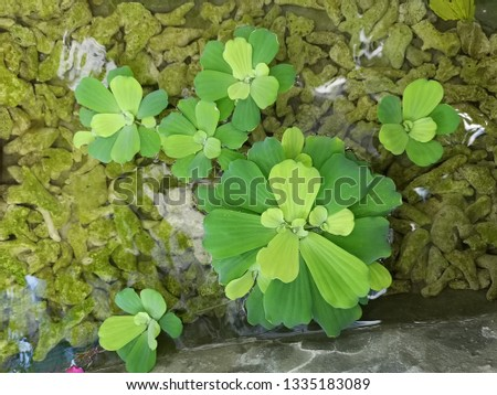 A group of aquatic plant in the pond #1335183089