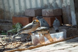 A group of Australian noisy miner birds eating out of a round container in Adelaide, South Australia