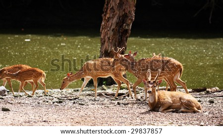 A group of axis deers walking beside river.