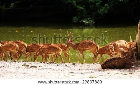 A group of axis deers walking beside river.