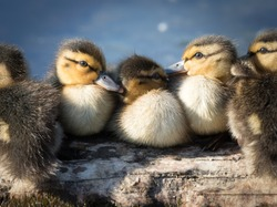 A group of baby ducks stick together and take a rest on the trunk at Deer Lake Park in Burnaby, Vancouver, Canada. Close up of flock