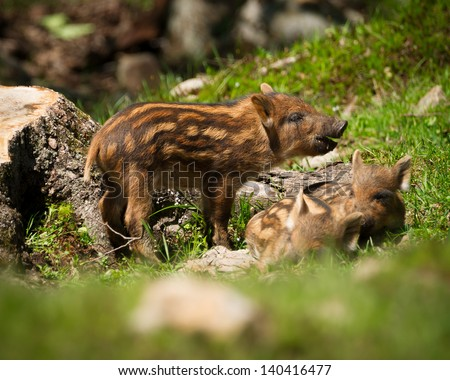 A group of baby wild boar or wild pigs (Sus scrofa) in the green grass of the summer sun.