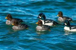 A group of barrow's goldeneye swimming in Vancouver, BC, Canada