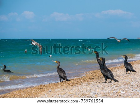 A group of big black cormorants and seagulls on the wild beach at sea shore. Large seabird Phalacrocorax carbo and Larus argentatus, black sea, Russia