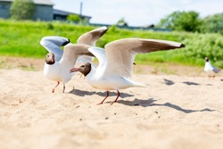 A group of birds on the beach. Black-headed Gull, River Gull, Chroicocephalus ridibundus. River coast. Bird watching, ornithology. A seagull is looking at the camera. Selective focus