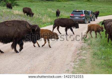 A group of bison with spring babies are walking across a dirt road with cars stopping to watch in Custer State Park, South Dakota.